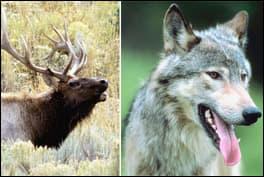 elkvswolf1b