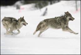 elkvswolf6