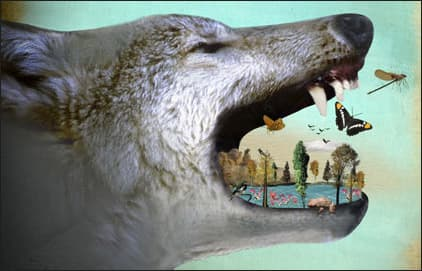effects of wolf predation essay 298 v predator-prey workshop: social and ecological benefits of restored wolf populations roamed the continent (leonard et al 2005) by the end of the 1940s, viable wolf populations had been largely purged from the continental united states (coleman.