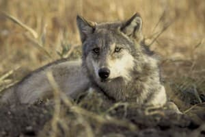 Management of gray wolves remains a contentious issue between the U.S. Fish & Wildlife Service, state wildlife officials and various interest groups. (USFWS image by John and Karen Hollingsworth — click to enlarge)