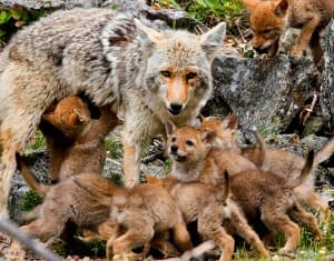 A coyote mother cares for her nine pups. (photo ©Meg Sommers — click to enlarge)