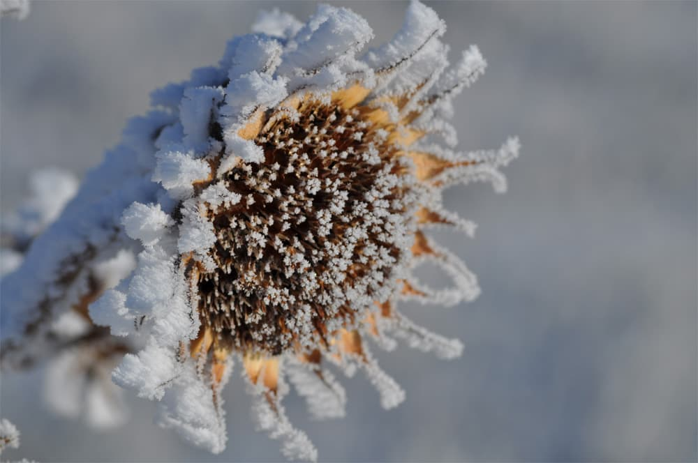 Showy Snowy Sunflower - Jenn Geringer
