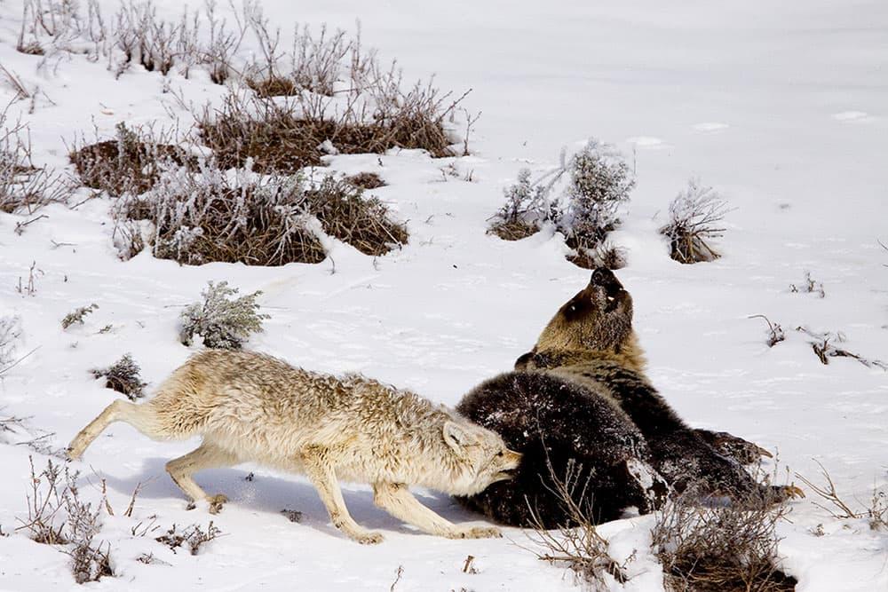 Bear Meets Wolf - J.L.-Woody-Wooden
