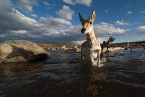 Pronghorn crossing the Green River