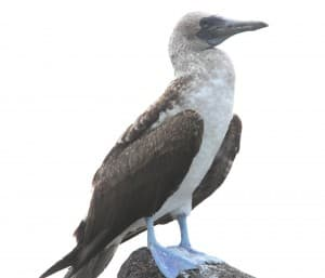 The blue-footed booby is one of the species of seabird that can be found on the Galapagos Islands. (RT Cox/WyoFile - click to enlarge)
