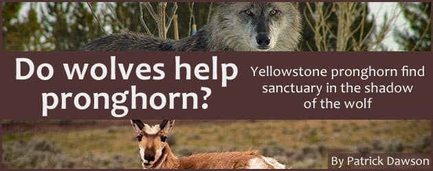 Do wolves help pronghorn? Yellowstone pronghorn find sanctuary in the shadow of the wolf