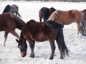 Wild horses are branded when they are gathered