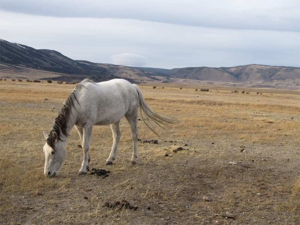 A wild horse grazes on a ranch near Centennial. The ranch, owned by Jana and Rich Wilson, is the first wild horse ecosanctuary in the country