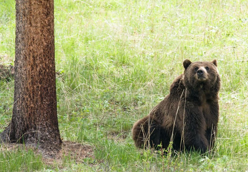 Controversy centers on grizzly bear count