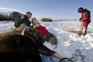 Researchers fit a moose with a GPS collar. (Photo Courtesy Mark Gocke Wyoming Game and Fish)