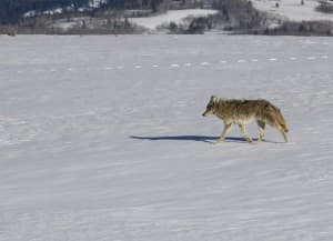 A gray wolf crosses a snow patch in Grand Teton National Park. A recent study on elk calves found that there was no connection between the growing wolf population and a low count of elk calves.