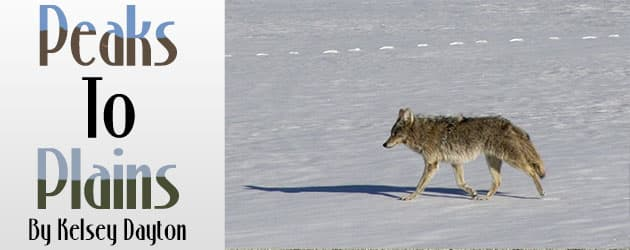 Low pregnancy rates in elk not due to wolves