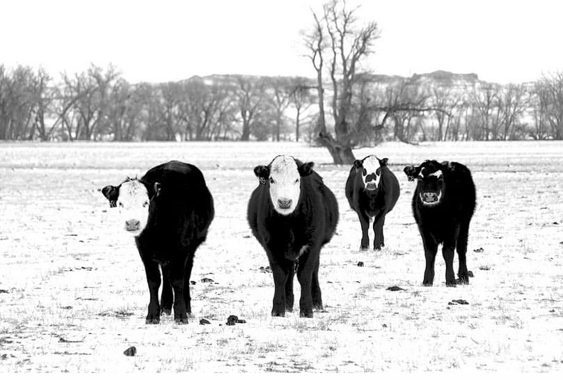 Cattle gathered in a field outside of Douglas, Wyoming. (Jason Leland Plett – click to enlarge)
