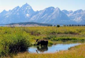A moose grazes among willows in Grand Teton National Park (Courtesy Grand Teton National Park — click to enlarge)