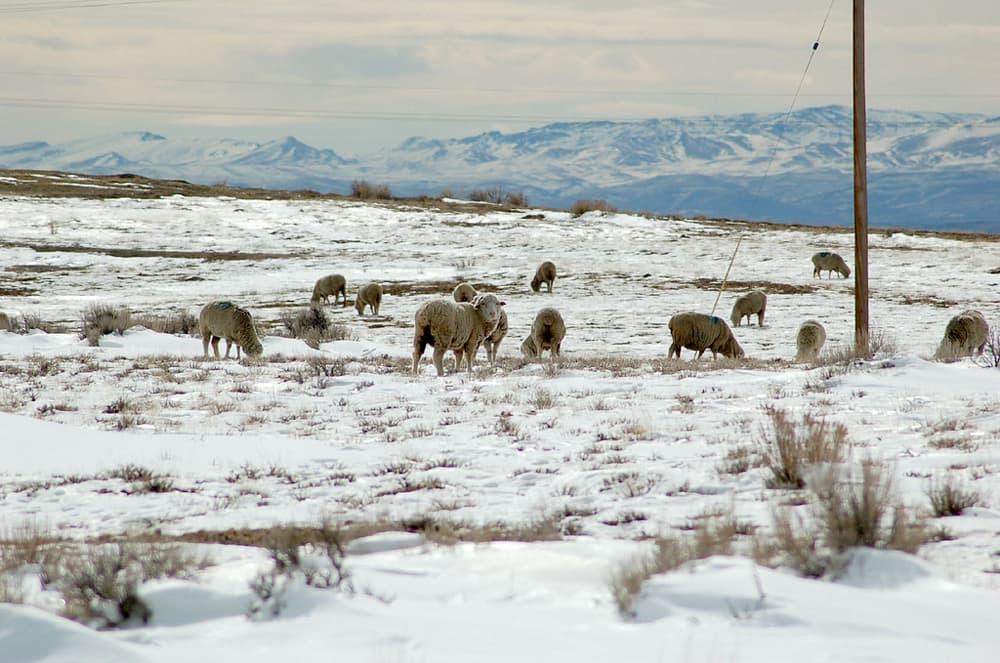 wyobulldog sheep flickr