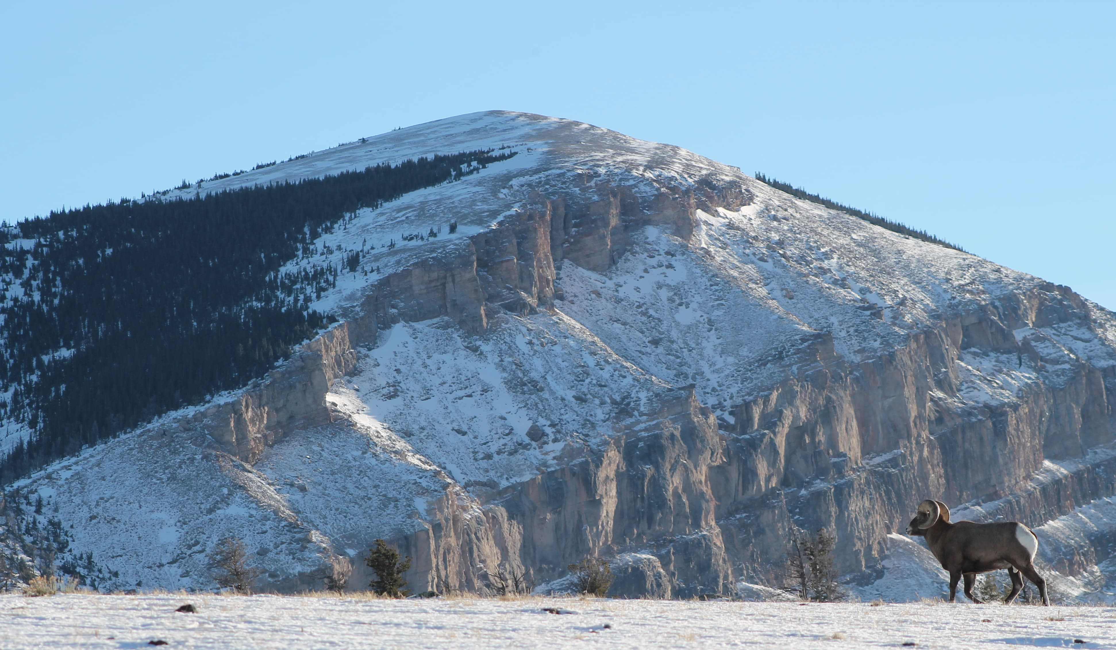 Bighorn sheep tours - Wyoming
