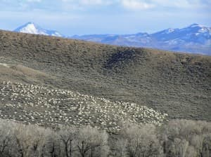 These sheep were trailing in the Cottonwood Creek area near Baggs, Wyoming. (Courtesy  of the Ladder Ranch — click to enlarge)