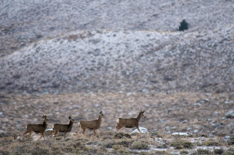 Biologists used GPS tracking collars to discover America's longest mule deer migration from the Red Desert to the Hoback Mountains in Wyoming. (photo by- Joe Riis )