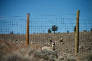 A young mule deer buck looks for a way around an elk fence. Such barriers can obstruct migrations, but used well, they can direct animals toward underpasses or other fence openings. (Joe Riis — click to enlarge)