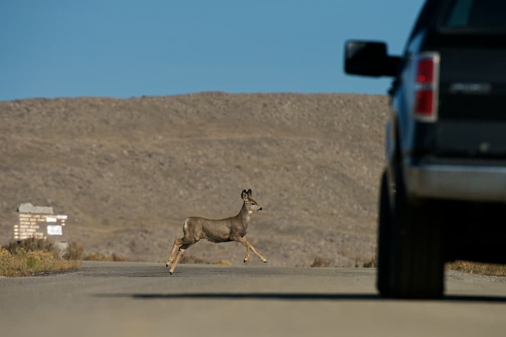 A mule deer crosses Forest Service Road 111 near Fremont Lake. (Joe Riis — click to enlarge)