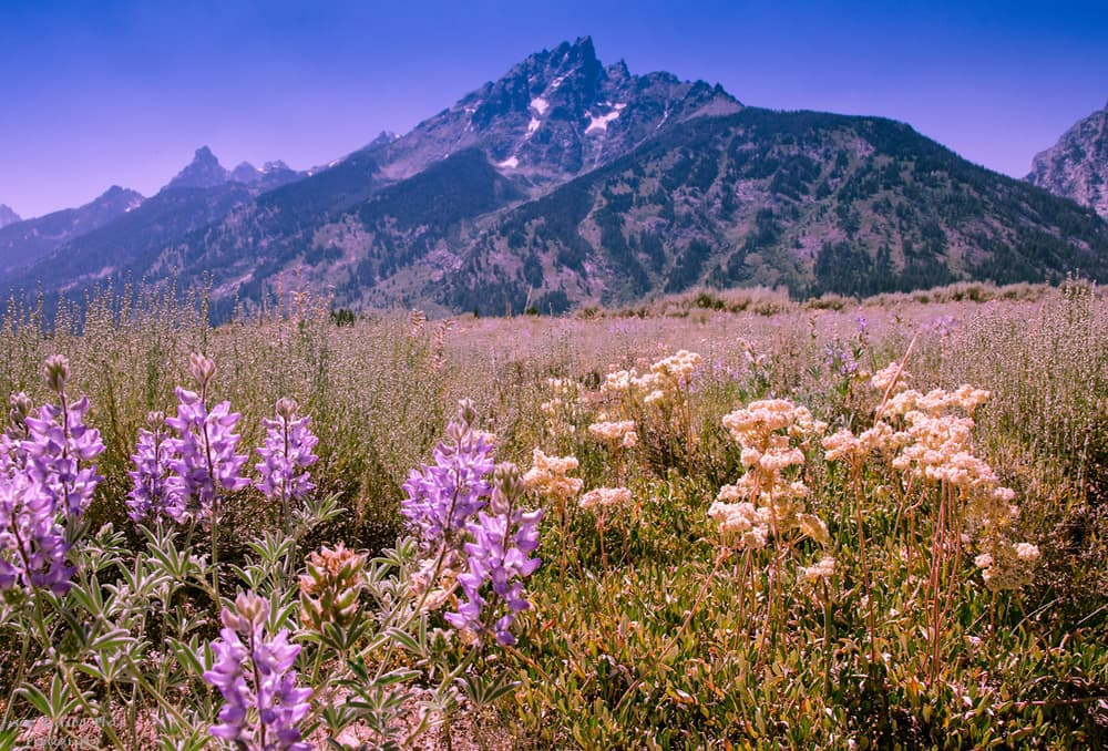 Lupin field protected by Grand Teton (Jason Plett/Flickr - click to enlarge)