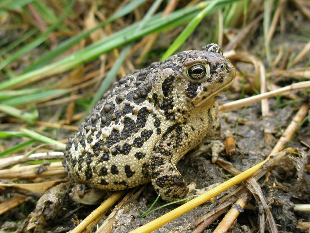 The Wyoming toad, listed as an endangered species in 1984, occurs only in Albany County, Wyoming. Extinct in the wild, the Wyoming toad is the most endangered amphibian in North America.(Sara Armstrong / USFWS-click to enlarge)