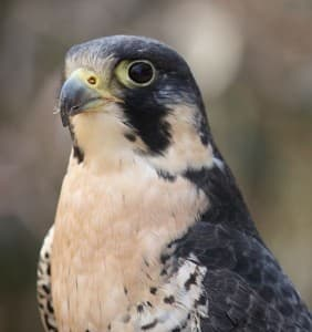 Peregrine Falcon (From Wikimedia Commons - click  to enlarge)