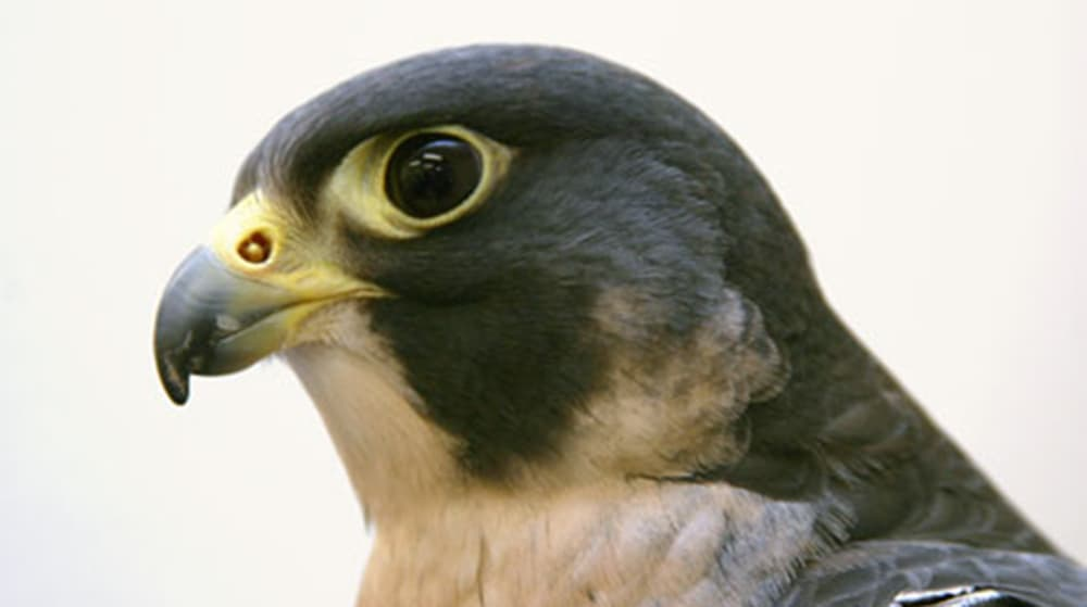 Gus, Peregrine Falcon (Courtesy of The Peregrine Fund - click to enlarge)