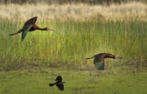 Ibis in flight in Yellowstone (Kathy Lichtendahl - click to enlarge)