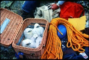 Settled into a basket, downy Peregrine Falcons patiently waited to be carried down a cliff face, where biologists would remove thin-shelled eggs from a nest and replace them with chicks to be raised by their foster parents. (1970s and 1980s)