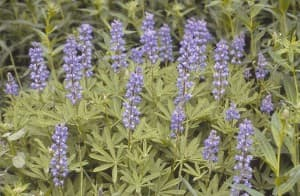 Wyoming wildflowers: Lupines — called bluebonnets in Texas (click to enlarge)