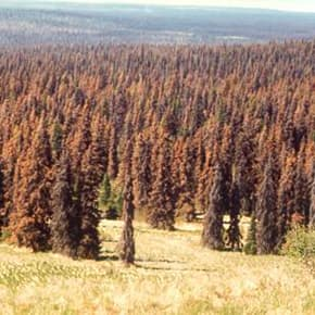 "By 2010 Ruffatto had switched from ""waste coal"" to  beetle-kill forests"