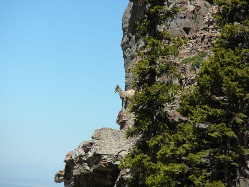 Bighorn sheep survive migration loss, now pressed by skiers