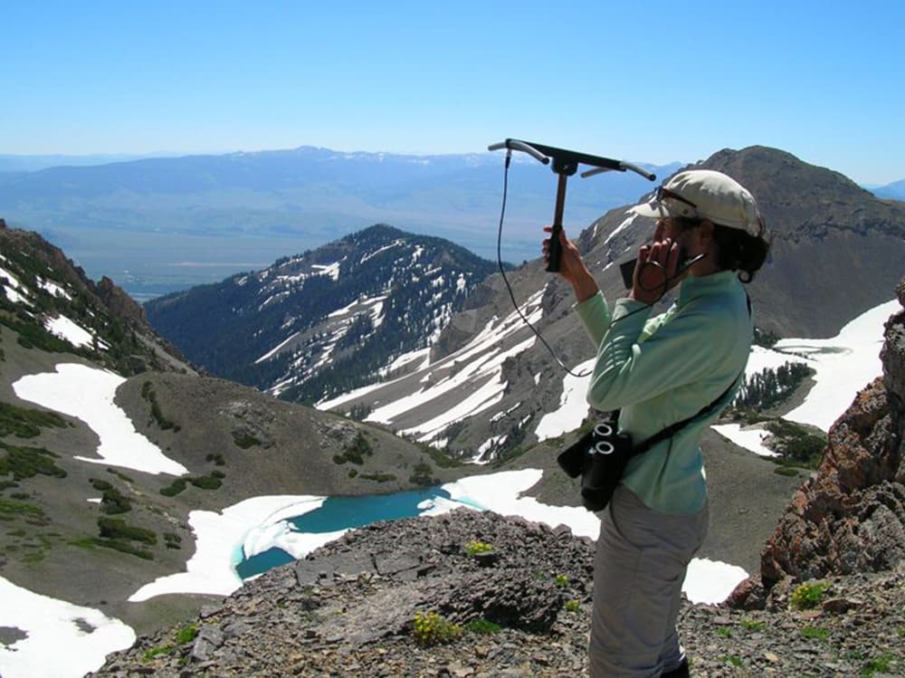 """Field technician Leah Yandow tracks bighorn sheep using radio telemetry. Kilpatrick complimented the capabilities of Courtemanch's field crews, saying, """"Rambling around the in the Tetons is not a walk in the park, but they nailed it, and they did it well. ... People people were doing 100-foot rappels to get collars retrieved. Rock climbing skills were required."""" (Photo by Alyson Courtemanch — click to enlarge)"""