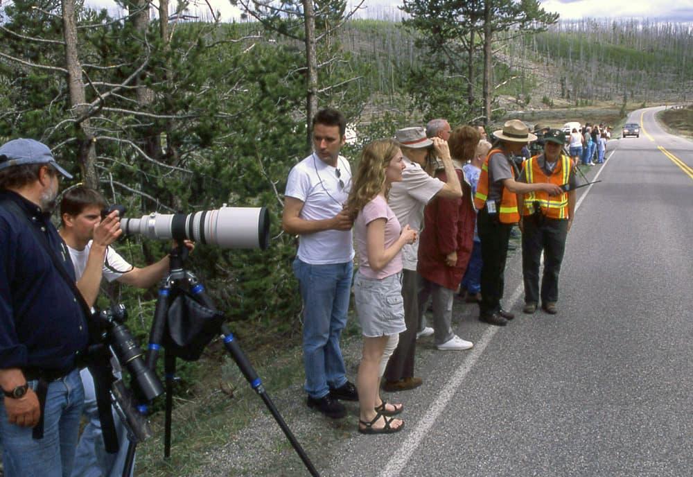 Yellowstone roadside grizzlies worth rangers' hassle