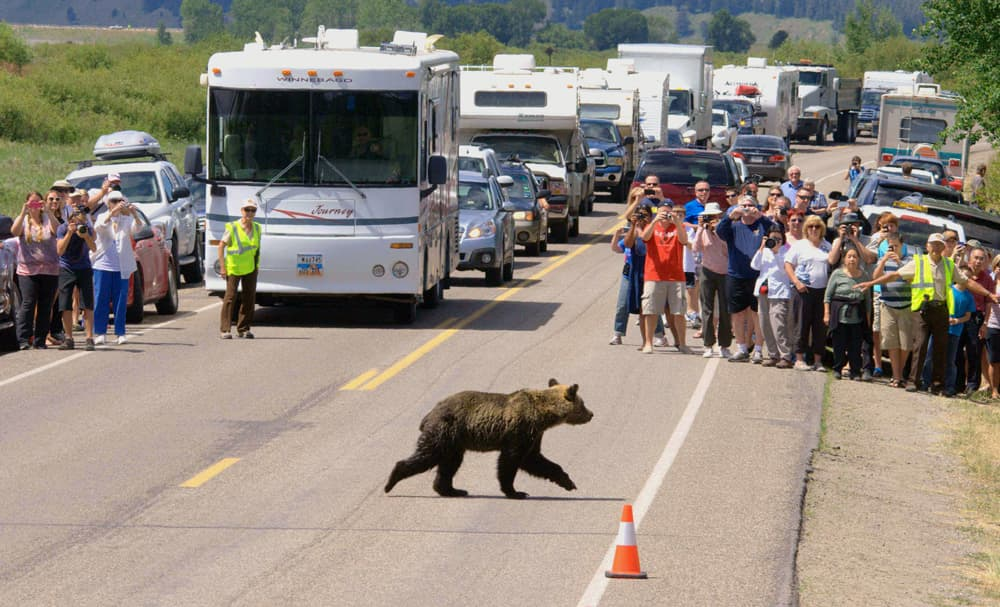 In Grand Teton National Park just south of Yellowstone, a volunteer wildlife brigade is trained each year to help manage people at bear jams. Both parks' programs run up consideral expense, but a study says roadside bears in Yellowstone bring more than $10 million annually to the regional economy. (Grand Teton National Park/B. Skates — click to enlarge)