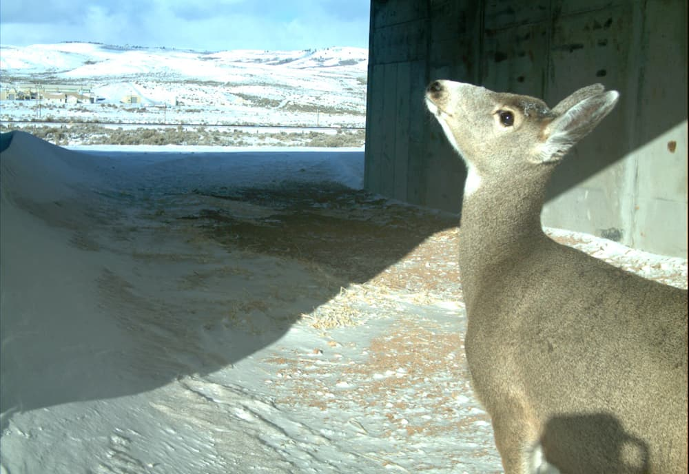 A mule deer inspects a highway tunnel at Nugget Canyon where the Wyoming Department of Transportation built 7 underpasses and fencing along a 13-mile stretch of U.S. 30. Almost 50,000 mule deeer used the tunnels in a three-year period, reducing vehicle collisions by 81 percent. (Hall Sawyer/WEST Inc. — click to enlarge)