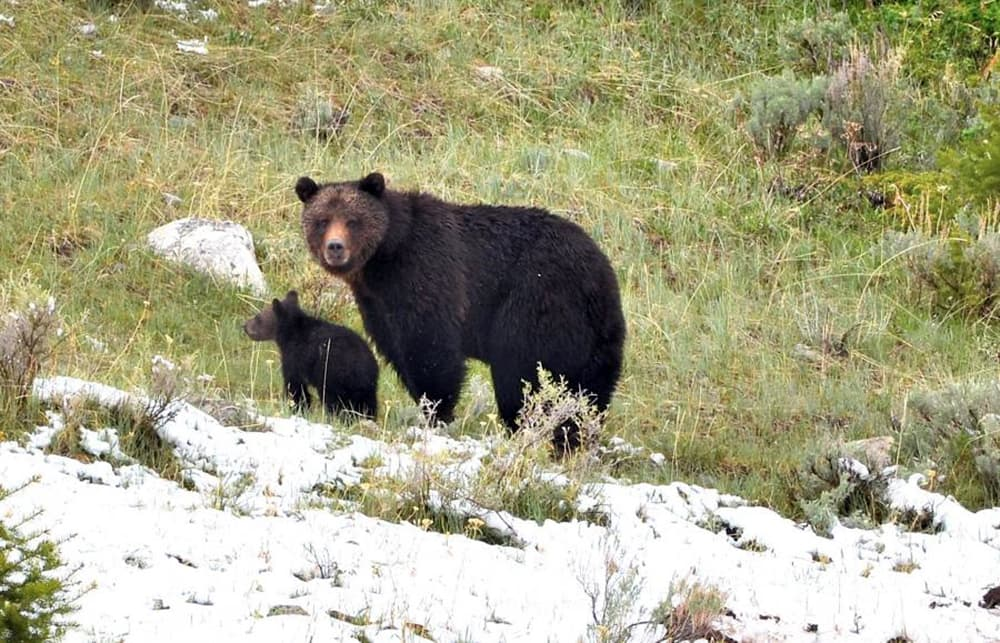 A female grizzly with a cub (Image courtesy of John Way - click to enlarge)