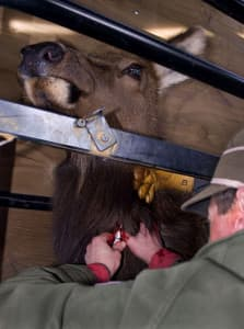 Widely used elk vaccine called ineffective wyofile for Wyoming game and fish draw results