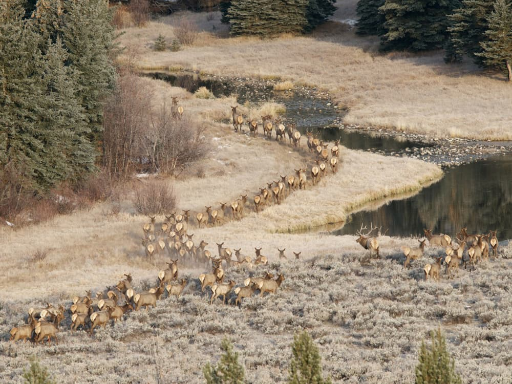 Photographer Kent Nelson, one of two lensmen who have sued to stop the Grand Teton National Park Elk Reduction Program, got this picture of a band of elk retreating toward safe ground after running into hunters. The hunt targets resident Teton elk and elk from Yellowstone and the Teton Wilderness that migrate through protected parts of Grand Teton. (Kent W. Nelson Ñ click to enlarge)