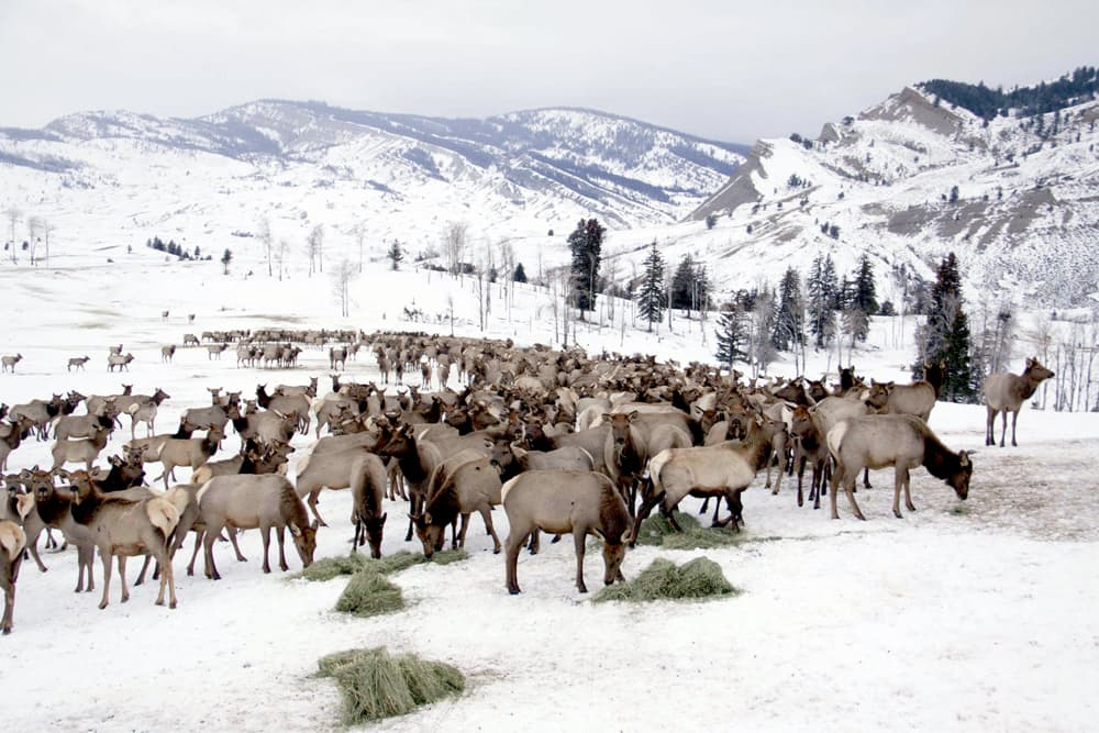 Widely used elk vaccine called ineffective wyofile for Wyo game and fish