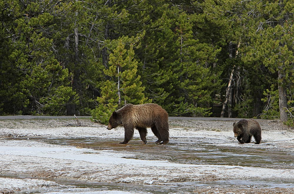 Reports say Yellowstone grizzly population is strong