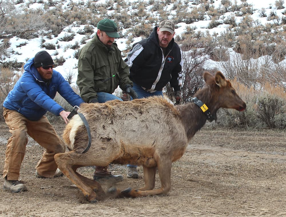 Wyoming Game and Fish is working on one of the first studies on how the mountain pine beetle epidemic influences ungulates. The agency collared elk in the Sierra Madres to track their movements. They also give hunters GPS units to see how people use the forest with downed trees. (Lucy Diggins-Wold, Wyoming Game and Fish - click to enlarge)