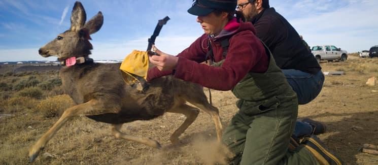 Research seeks reasons for demise of mule deer