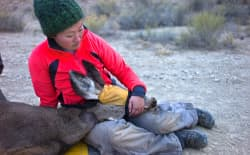 Researcher with doe mule deer