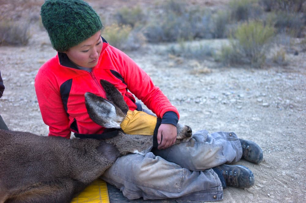 Critical mule deer research relies on fundraising