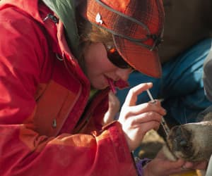Sam Dwinnell injects a deer before pulling a tooth, required to obtain the accurate age of each animal. Many on the capture team have specific jobs they perform as each doe is brought in for processing. (Angus M. Thuermer Jr./WyoFile — click to enlarge)
