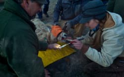 Using a flashlight, tongue depressor and swab, Teal Wyckoff collects a sample from a bighorn ewe on the National Elk Refuge near Jackson on Friday. A University of Wyoming student working on her master's degree, she's helping with a study that could explain why bighorn sheep near Cody are less susceptible to pneumonia. (Angus M. Thuermer Jr./WyoFile)