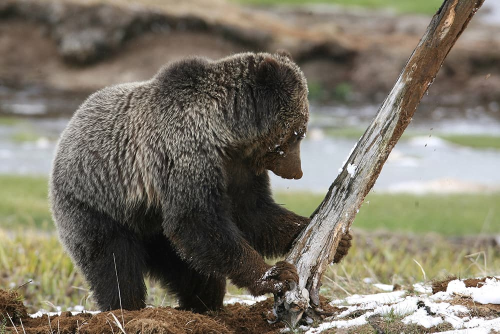 Tribes say they're shut out of grizzly bear delisting
