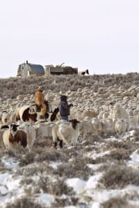 "Sheepherders move sheep on Shaun Sims' ranch. Should the new H-2A rules go into effect, traditional sheep grazing would ""cease to exist — instantly,"" Sims said. (Courtesy Lacee Sims)"